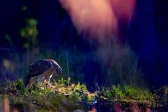 Северный ястреб-тетеревятник Стоковое Фото