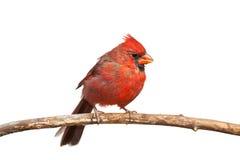 Северный Cardinal Стоковая Фотография