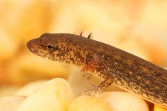 Северный Dusky саламандр (fuscus Desmognathus) Стоковое Изображение RF