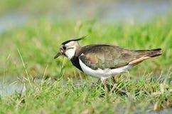 Северный lapwing (vanellus Vanellus) закрывает вверх Стоковые Фотографии RF