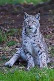 Северный Lynx Стоковые Изображения