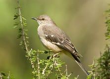 Северный Mockingbird Стоковое Фото