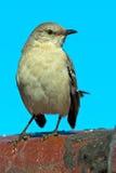 Северный Mockingbird Стоковая Фотография RF