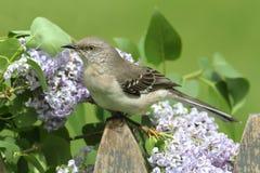 Северный Mockingbird (polyglottos Mimus) Стоковое Изображение