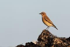 северный wheatear oenanthe Стоковые Фотографии RF