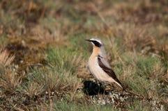 северный wheatear oenanthe Стоковая Фотография