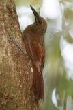 Северн-запертое Woodcreeper взбираясь вверх дерево Стоковое Изображение RF