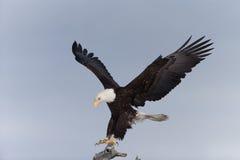 Североамериканская посадка белоголового орлана Стоковое Изображение RF
