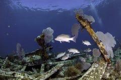 Североамериканские коралловые рифы Стоковое Фото