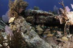 Североамериканские коралловые рифы Стоковые Изображения RF