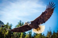Североамериканский белоголовый орлан в среднем полете Стоковые Изображения
