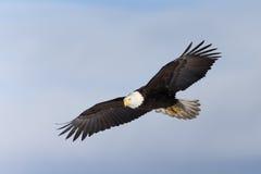 Североамериканский витать белоголового орлана Стоковое фото RF