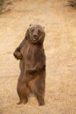 Североамериканский медведь Брайна - гризли Стоковые Фотографии RF