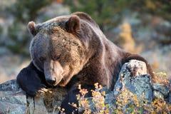 Североамериканский медведь Brown (медведь гризли) Стоковые Изображения RF