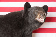 Североамериканский черный медведь Стоковые Изображения