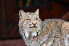 Североамериканский Lynx Стоковые Изображения