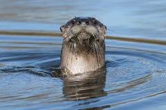Североамериканское заплывание выдры реки Стоковая Фотография RF