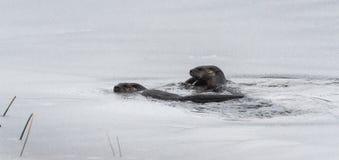 Североамериканское заплывание и рыбная ловля canadensis Lontra выдр реки в одичалом Стоковые Фотографии RF