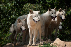 Североамериканское ледовитое Wolfs Стоковые Фотографии RF