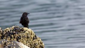 Северозападная ворона в Аляске Стоковое фото RF