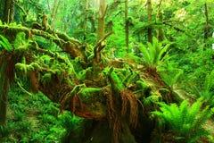 северо-западный Тихий океан дождевый лес стоковое фото