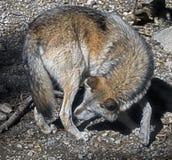 север Дакоты неплодородных почв сфотографировал волка тимберса Стоковые Фотографии RF