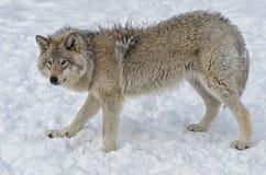 север Дакоты неплодородных почв сфотографировал волка тимберса Стоковые Изображения