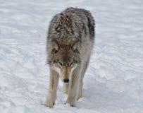 север Дакоты неплодородных почв сфотографировал волка тимберса Стоковое Изображение RF