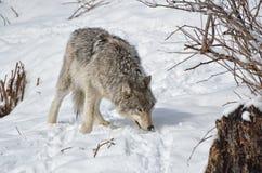 север Дакоты неплодородных почв сфотографировал волка тимберса стоковая фотография