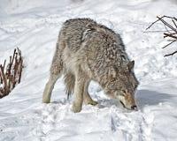 север Дакоты неплодородных почв сфотографировал волка тимберса стоковое фото rf
