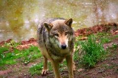 север Дакоты неплодородных почв сфотографировал волка тимберса Стоковое Фото