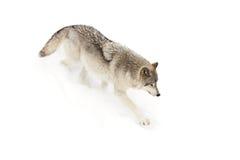 север Дакоты неплодородных почв сфотографировал волка тимберса Стоковая Фотография RF
