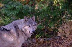 север Дакоты неплодородных почв сфотографировал волка тимберса Стоковое Изображение