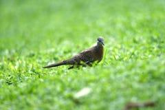 Седая птица черепахи на задней части и крыльях, с маленьким черным оттенком на его плече стоковые фотографии rf