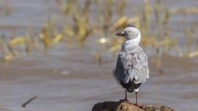 Седовласая чайка смотря левую сторону стоковые фотографии rf