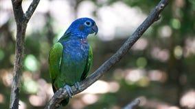 Седовласый попугай в парке в эквадоре стоковая фотография