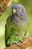 Седовласый попугай, также известный как седовласое pionus Pionus menstruous Стоковая Фотография