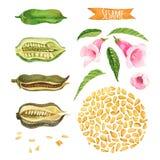 Сезам, покрашенный вручную комплект акварели Стоковые Изображения