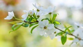 Сезонная весна цветет предпосылка деревьев стоковое фото