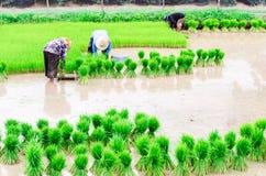 Сезонное сельское хозяйство риса Стоковое Фото