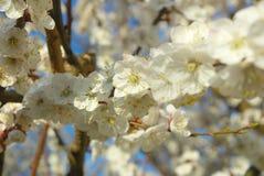 Сезонное blossoming весеннее время дерева Цветение белизны весны Стоковые Изображения RF