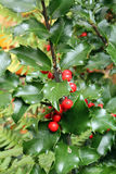 Сезонные падуб и ягоды Стоковые Фотографии RF