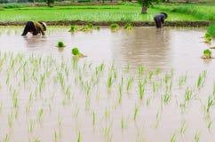 Сезонный обрабатывать землю риса Стоковое Изображение