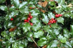 Сезонный падуб Буш и ягоды Стоковые Изображения