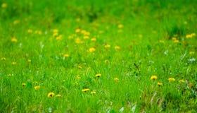 Сезонный сад весны с свежими зеленой травой и одуванчиками Стоковое фото RF
