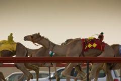 Сезон верблюда Marmoum Al участвуя в гонке, Стоковая Фотография