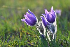 Сезон весеннего времени Красивые фиолетовые цветки зацветая в солнечном дне С естественной покрашенной предпосылкой луга Подача P Стоковые Фото