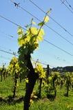 сезон виноградного вина новый стоковая фотография