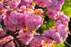 Сезон вишневого цвета стоковые фотографии rf