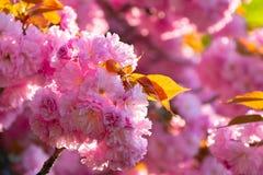 Сезон вишневого цвета стоковая фотография rf